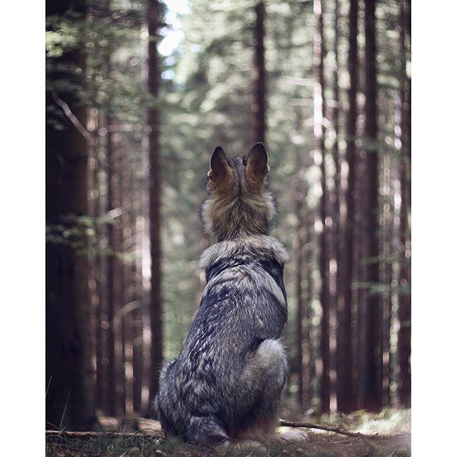 We need more guardians like her...  www.travelwithmaya.com #travelwithmaya #hikingwithdogs #stayandwander #roamtheplanet #czechoslovakianwolfdog #lifeofadventure #adventurethatislife #camping #campingwithdogs #hiking #czechoslovakianwolfdog #lifeofadventure #adventurethatislife #wolfodg #dog #wolf
