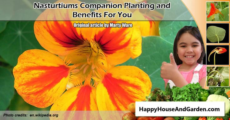 Nasturtiums Companion Planting and Benefits For You and your vegetable garden. Click the image or website link to find out more now!