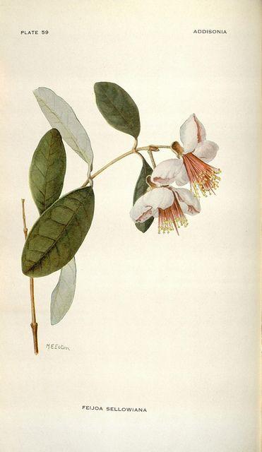 Addisonia : colored illustrations and popular descriptions of plants v.2 (1917) New York :New York Botanical Garden,1916-[1964]