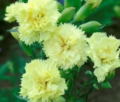 "1""-3"" flowers. 'Carnation-Marie-Chabaud'."