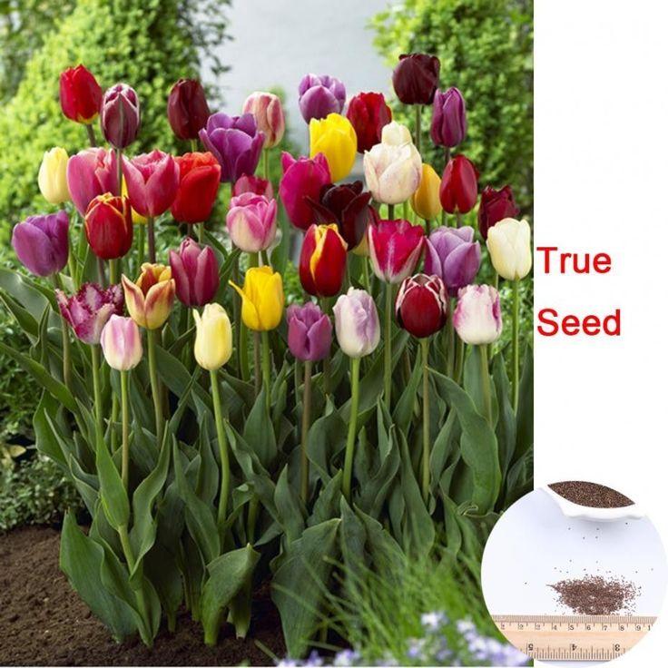 100 Pcs / Pack  Tulip Seeds,tulipa Gesneriana,potted Plants, Planting Seasons, F