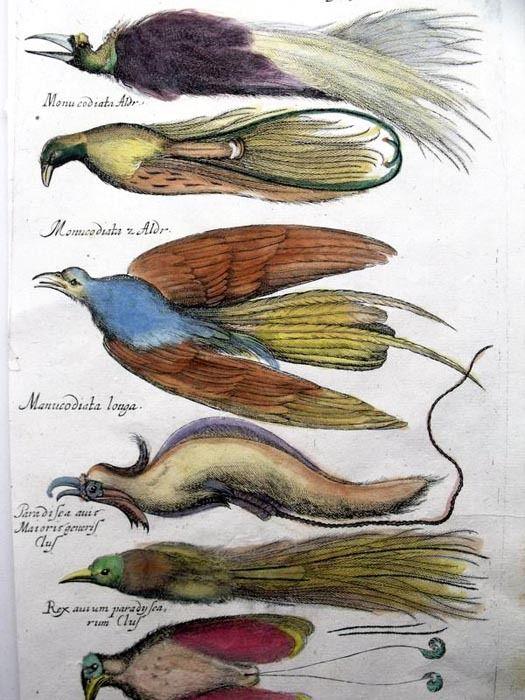 Райские птицы. Бестиарий Мериана. Маттеус Мериан. Амстердам, Historia Naturalis, 1657 год