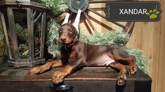 Xzandar Doberman Pinscher Puppy For Sale In Paradise