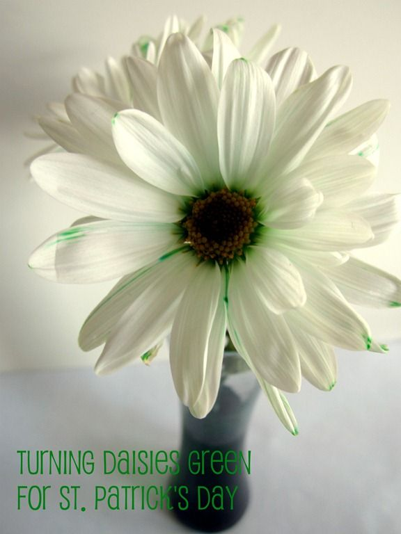 Have you ever turned flowers colors? It's a fun and simple science experiment for kids. Turn some green for St. Patrick's Day! B-InspiredMama.com.