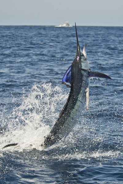 sport fishing - marlin takes to the air