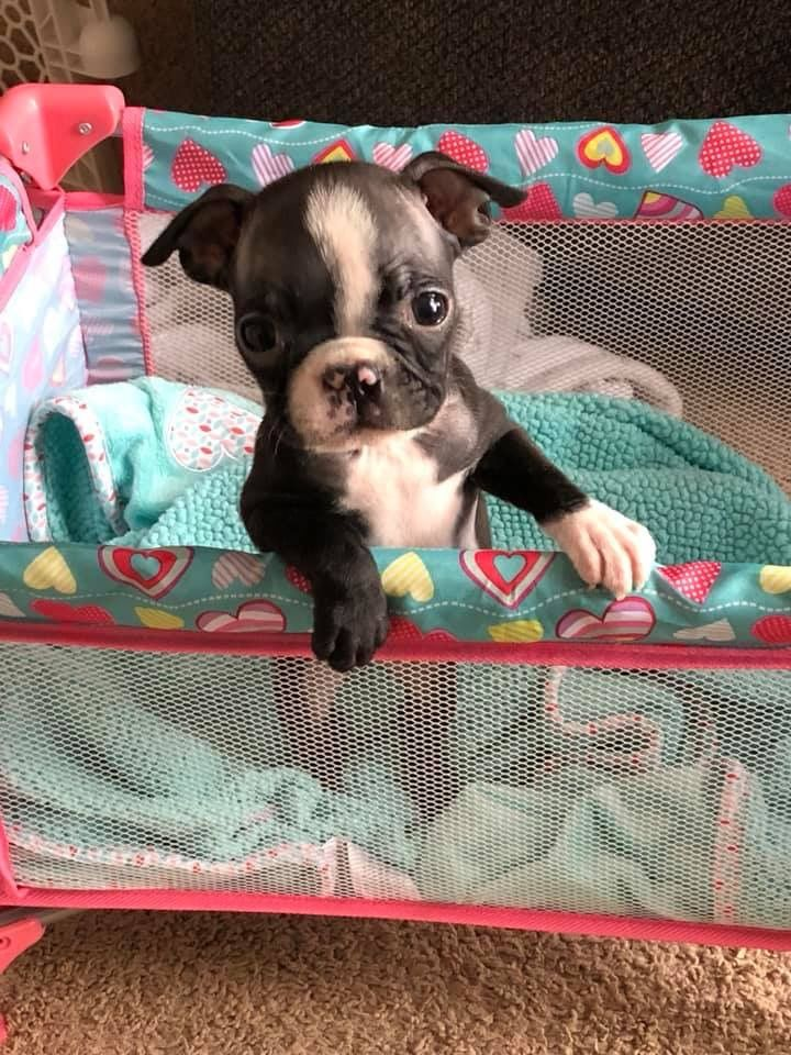 Too Cute Boston Terrier Puppy