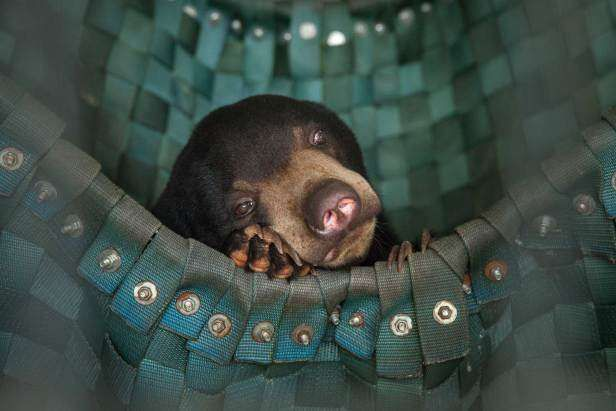 A sun bear takes a nap in one of Free The Bears' hammocks at the Phnom Tamao Wildlife Rescue Center, Sep. 5, 2014.