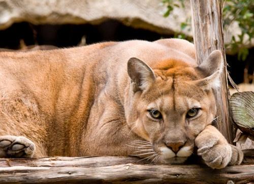 Mountain lion: Big Cat, Mountain Lion 2, Cougar Beautiful, Wild Things, Cougar Pumas, Wild Side, Big Kitties, Beautiful Things, Big Kitty