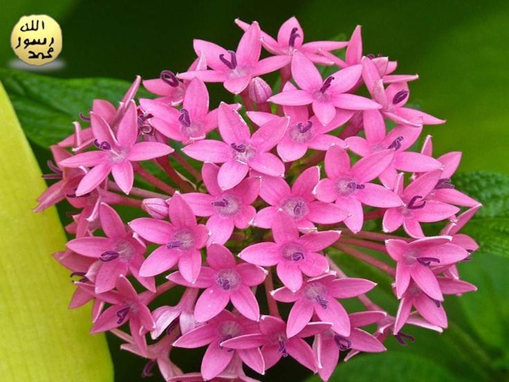 yıldız kümesi çiçeği adını İsveçli botanikçi Andreas Dahl'dan almıştır.