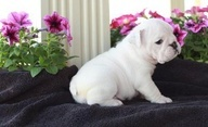 Micro Teacup Maltese. This site has so many teacup dogs for sale that almost look like stuffed animals. They require so much care and are so cute!