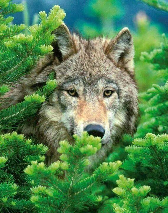 Lobo observando entre los arbustos