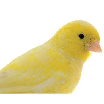 birds parrot and american singer canaries When you think of a canary, you think of the typical little yellow singing bird right   the american singer canary was bred in america for its song as well as its.