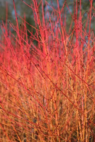 Cornus sanguinea 'Midwinter Fire' - This deciduous shrub has oval, mid-green leaves and produces small, creamy-white flowers in May and June. But it's really grown for the brilliant, flame-coloured stems that are revealed when the leaves, which turn orange-yellow in autumn, fall. This fabulous dogwood looks best planted in groups in damp areas of the garden, beside water, or in a winter border.