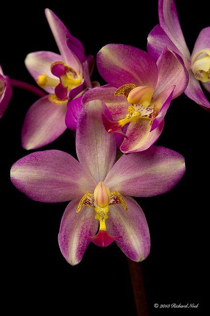Spathoglottis 'Nuuanu Gold' - Flickr - Photo Sharing!