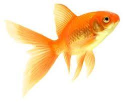 goldfish-pez dorado