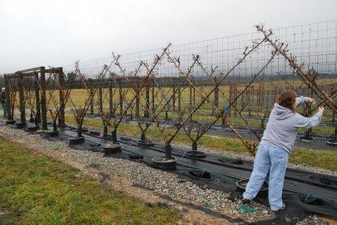 Dirt Simple blog post on espaliered fruit trees.