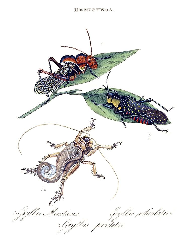 the history of the cicada insect Cicada killer wasps are on the wing  cicada killers also benefit trees by hunting large insect  life history, habits, and control of the cicada killer wasp.