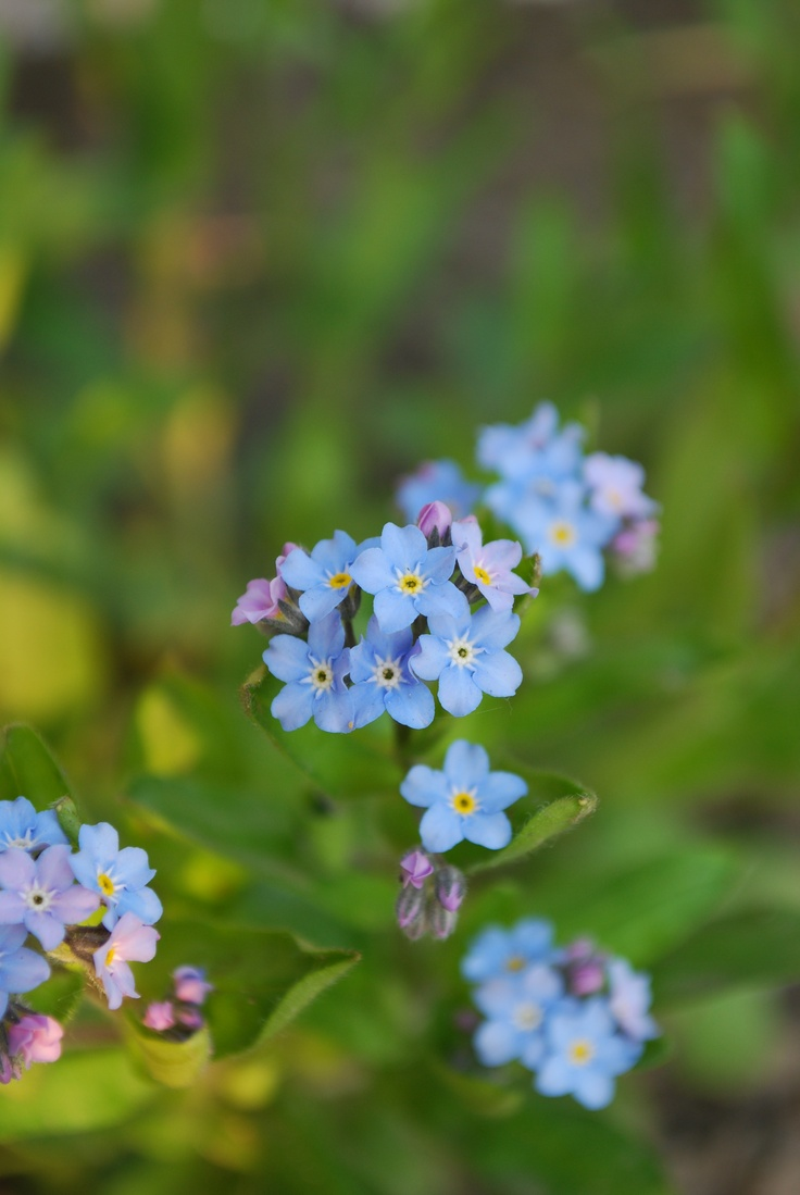 Forget me nots, my mom had these, its too hot where I live now :)