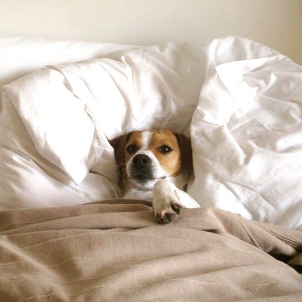 Jack Russell in bed