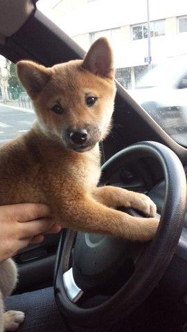Itsumi, chien Shiba Inu