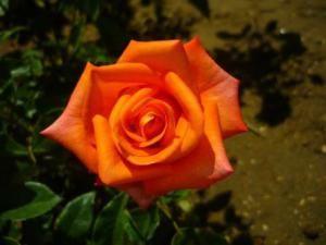 Botanical Name Of Rose > Rose Scientific Name   Roses Flower