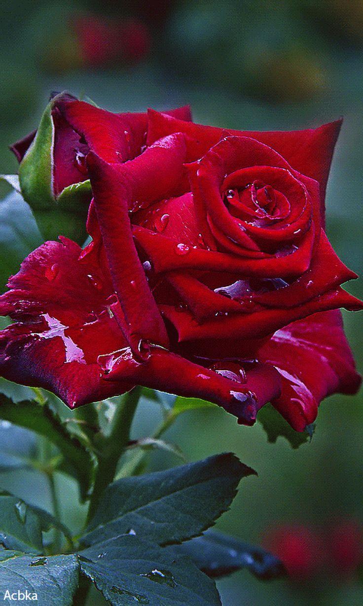Розы фото анимации
