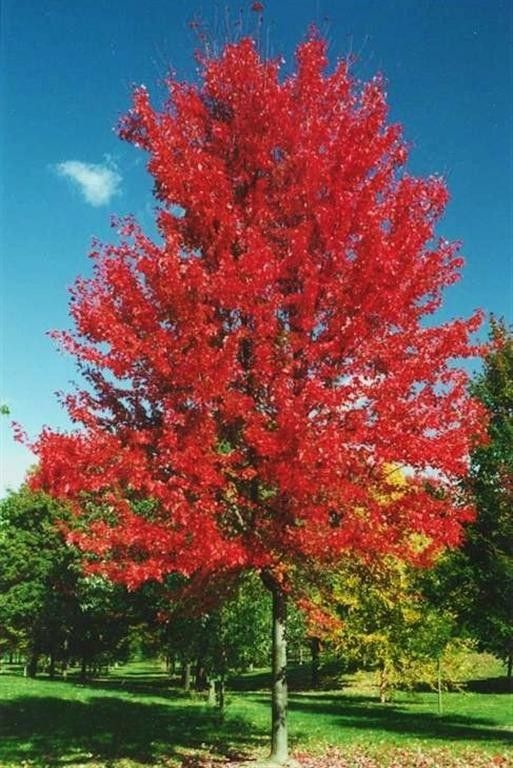 'Autumn Blaze' Maple is a hybrid of the Silver Maple and Red Maple. This tree mixes the dependable, rapid growth of a Silver Maple with the fall color and toughness of the Red Maple. Autumn Blaze Maple is one of the most popular trees for homeowners, and has been voted tree of the year by a number of different organizations