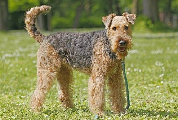 Curly Haired Dogs Awesome Dogs All About Dogs Who S Who Of The Small Dog Breeds Petfinder 8 Curly Coat In 2020 Smartest Dog Breeds Fluffy Dog Breeds Airedale Terrier