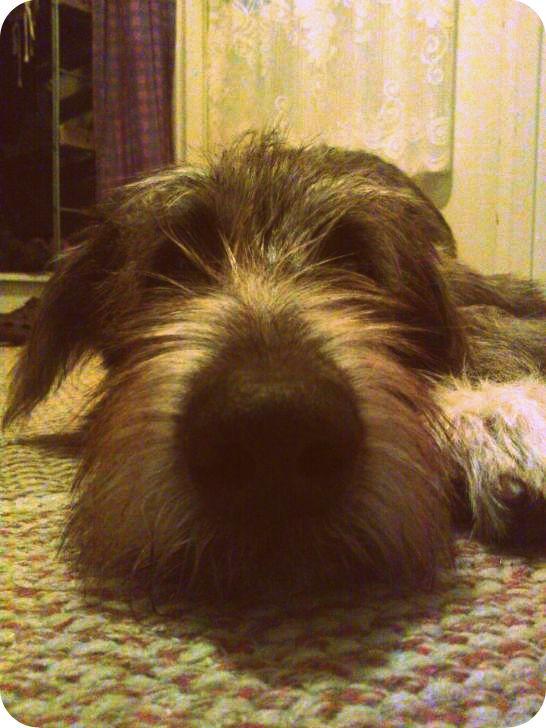 Anni, our Irish Wolfhound