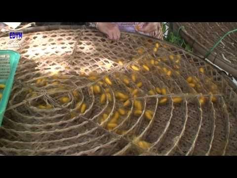 Vídeo sobre com es fa seda a patir de ninfes de cucs de SEDA