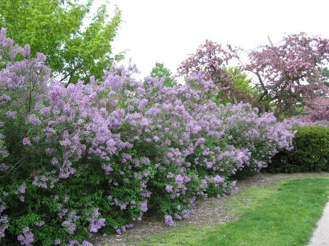 17 best images about privacy shrubs on pinterest gardens sun and waves after waves - Shrubbery for privacy ...