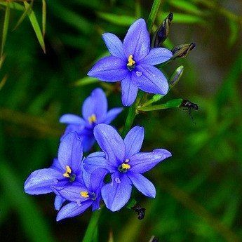 """This rare African iris is a real dazzler. Dozens of intensely blue 1"""" flowers cover tall wavy stems, and the very green foliage looks good year round. Aristea tolerates sun, shade, water, drought, and"""
