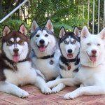 husky_quartet (Akira, Blaze, Shiloh, Phènix) @ Instagram - 5th village