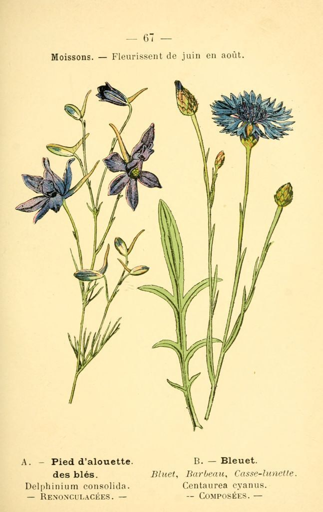 dessin fleurs prairies champs bois pied d'alouette des bles - delphinium consolida.jpg (Imagen JPEG, 647 × 1024 píxeles)