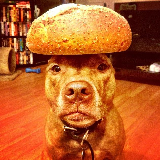 This Dog Can Stack Anything On His Head. Youll Die Laughing At What His Owner Has Tried...LOL | News-Hound