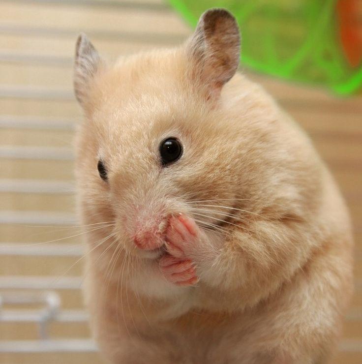 Cream Syrian hamster                                                                                                                                                                                 More