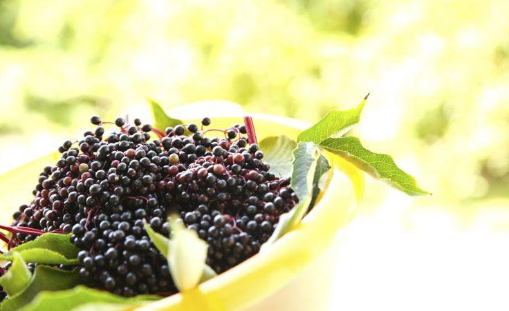 Holunder: Pflege, Vermehrung und Schnitt -  Holunder trägt nicht nur schöne Blüten, sondern liefert auch gesunde Früchte. Wir geben Tipps zum Pflanzen, Vermehren und Schneiden des traditionsreichen Gartenstrauchs.