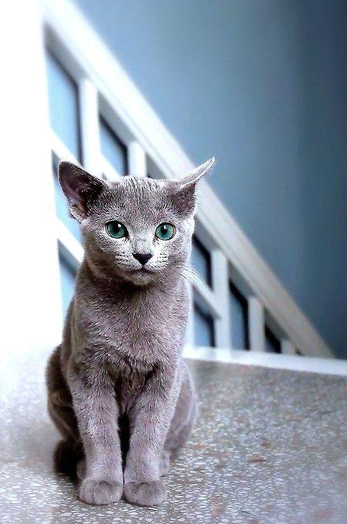 Russian Blue Cat by Moss