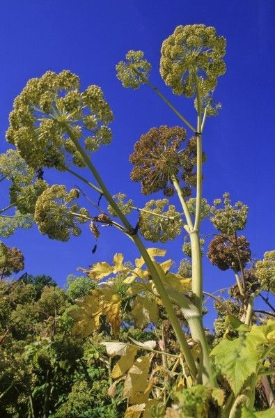 Tips On Harvesting Angelica: How To Prune Angelica Herbs -  Less commonly seen here, angelica can be cultivated in the cooler regions of the United States where it can reach heights of up to 6 feet! This begs the question, does angelic plant need trimming and, if so, how to prune angelica herbs? Click here to learn more.
