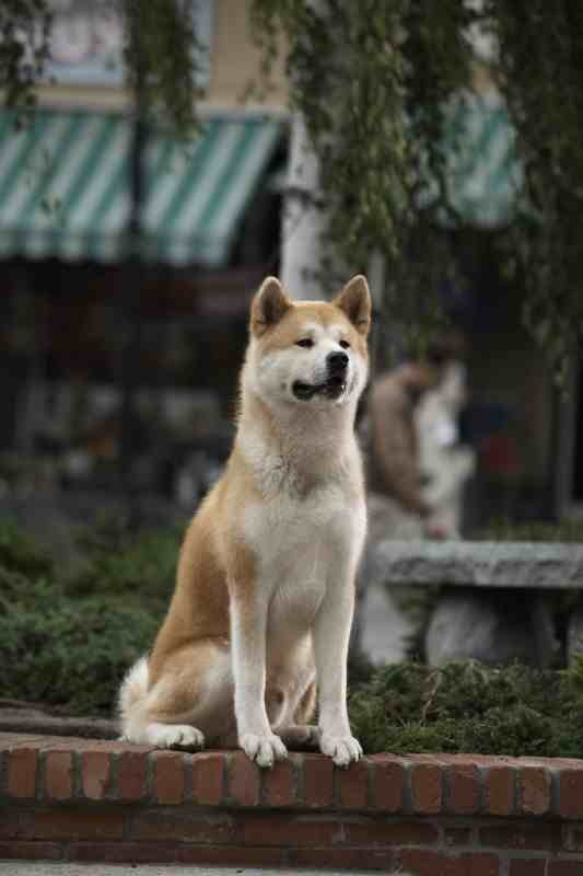 akita inu. Japanese version ,burial. http://www.youtube ...