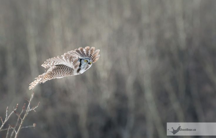 After our move from Toronto to Calgary, we encountered a prolonged stretch of brutal luck. Aside from a brief coyote sighting and a nice afternoon viewing of a short-eared owl, we saw nothing from early October 2016until late January 2017. Thanks to the owl-spotting skills of friend Kerri Martin, the long stretch of futility ended with a first for us: A northern hawk-owl. Though the owls aren't that uncommon, they're also not that frequently photographed and rarely are they seen at e...