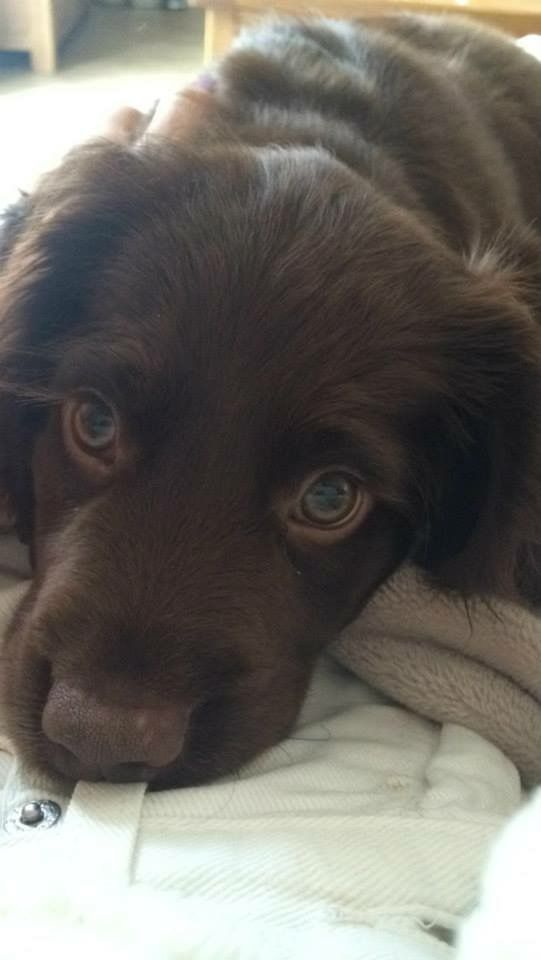 Sprocker Spainel puppy