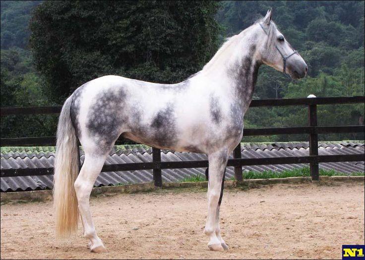 Mangalarga Marchador - stallion Emblemático da Conquista