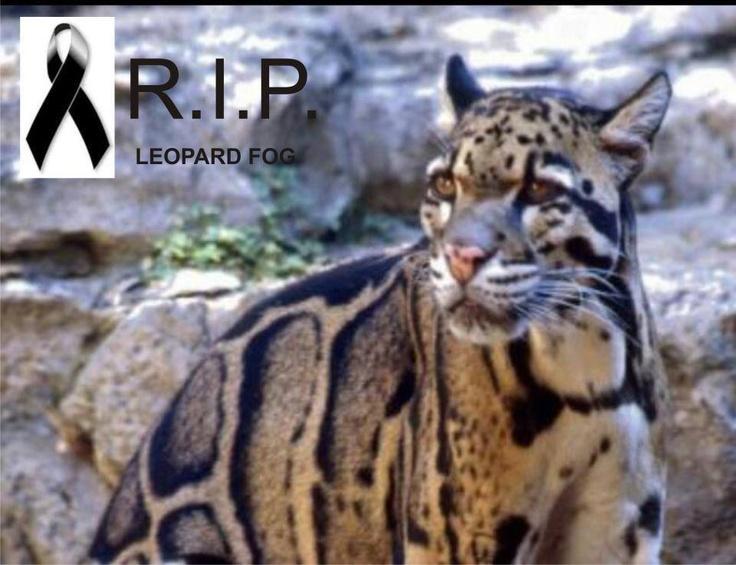 C'est officiel ! Extinction de la panthère nébuleuse ( Leopard de Taïwan) !  Quelle tristesse ! Quelle honte !  Il y a un mois c'est le cougar qui disparaissait. C'est vraiment alarmant...