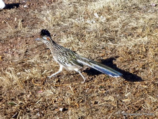 Our Awesome Travels: Roadrunner sighting this morning. A very short dri...
