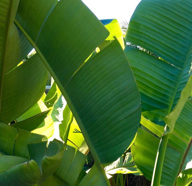 Looking for a L A R G E Strelitzia nicolai?  We've got 100ltr plants in stock now @palmlandsydney  #strelitzia #strelitzianicolai #nicolai #palmland #garden #potplant #plantinspiration #plantlovers #birdofparadise #100ltr #tropical #tropicalgarden #plantoftheday