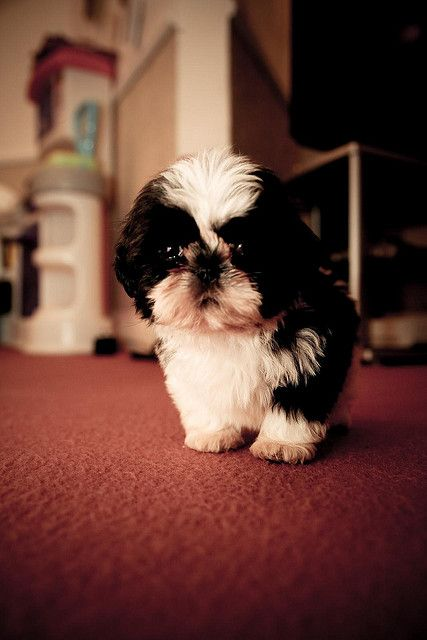 Louie & Marley - Shih Tzu Puppies by john stez, via Flickr