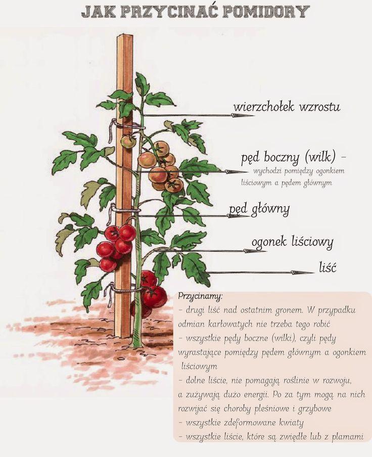 Jak przycinać pomidory