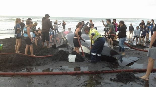 The Patea community tried to save the Orca that stranded on the beach but it was unsuccessful and was blessed and then buried on the beach.