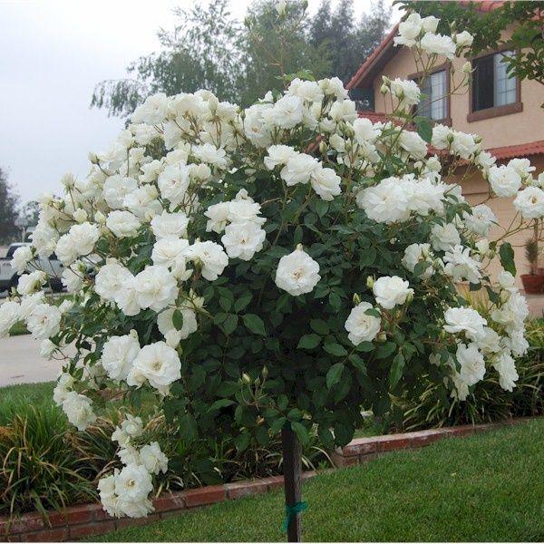 iceberg rose tree roses ahhhhh garden pinterest